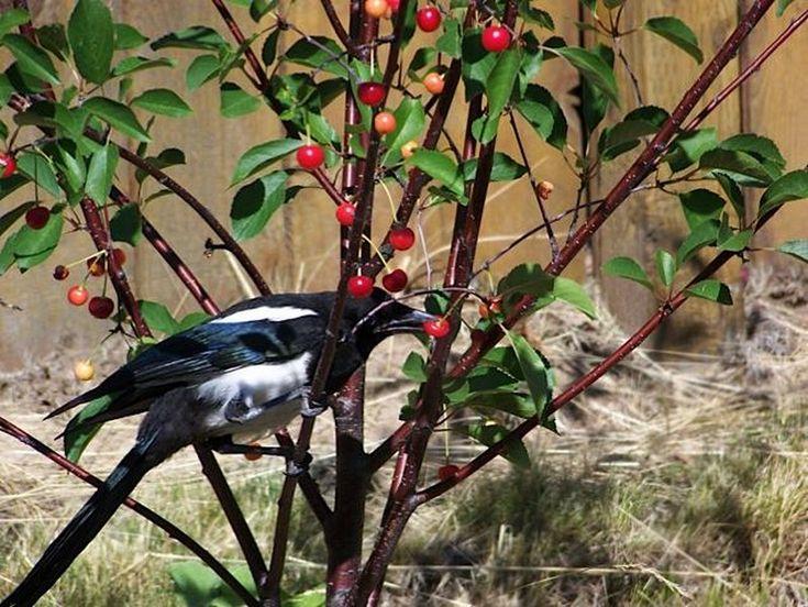 Les 34 meilleures images propos de comment prot ger les cerises contre les vers et oiseaux sur - Comment faire fuir les oiseaux des cerisiers ...