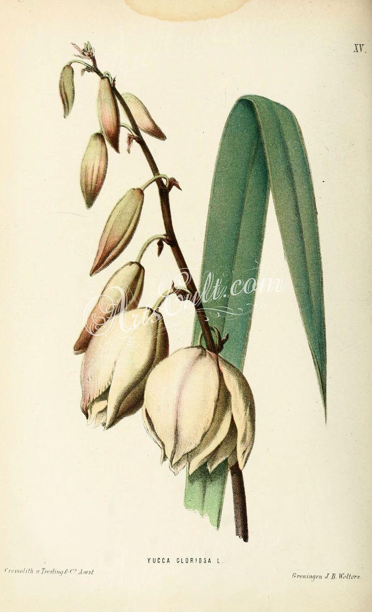 yucca gloriosa      ...