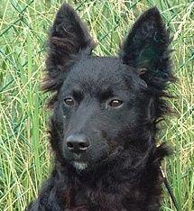 CROATIAN SHEEPDOG PHOTO | Pastor Croata - Croatian Sheepdog - Chien de ... | Dogs: FCI 1 Sheepd ...