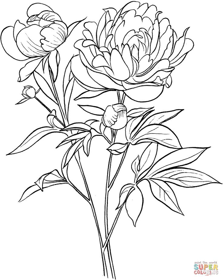 Paeonia Officinalis or European Common Peony coloring page from Peony category. Select from 26977 printable crafts of cartoons, nature, animals, Bible and many more.