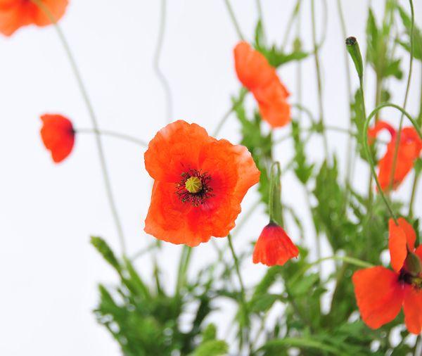 die besten 17 ideen zu rote mohnblumen auf pinterest mohnblumen mohnbl ten und mohn malerei. Black Bedroom Furniture Sets. Home Design Ideas