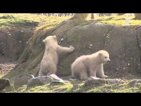 Diergaarde Blijdorp: Spelende IJsbeertjes - YouTube
