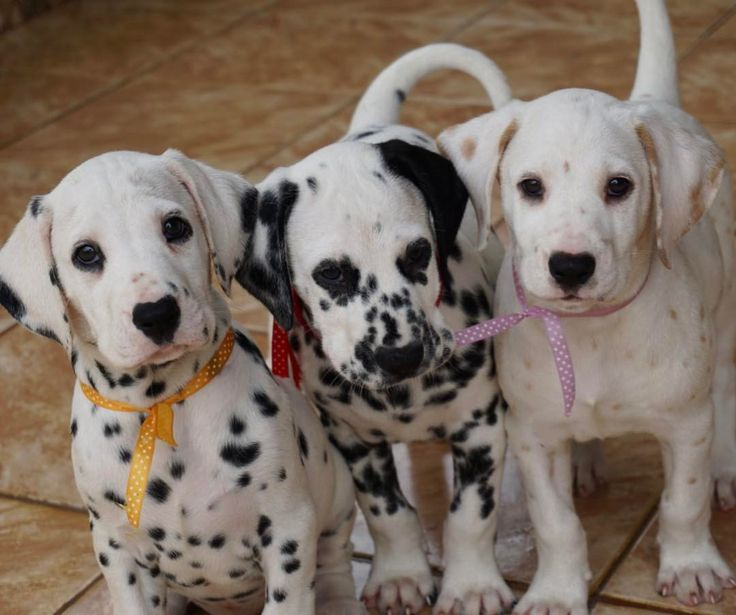 What Is The Mom Dogs Name In  Dalmatians
