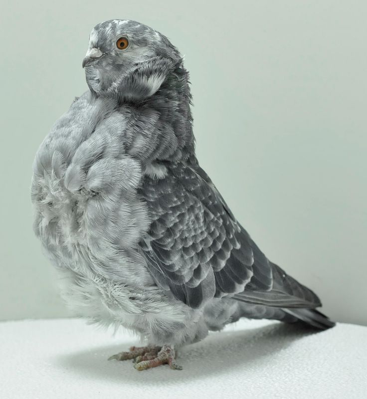 Chinese owl pigeon