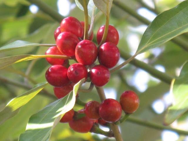 12月14日の誕生日の木は「シロダモ(白梻)」です。 クスノキ科シロダモ属の常緑高木です。原産地は、日本、中国、朝鮮半島。国内では、宮城県、山形県以南の本州沿岸地域。京都、滋賀県、三重県の以西と四国、九州、沖縄の山地に分布します。 シロダモの名前は、葉の裏が白いタモ(クスノキ科タブノキ属のタブノキ)に由来します。別名を「シロタブ」「ウラジロ」といい、いずれも葉のウラが白色であることに起因します。 樹高15m、直径50cmに達するものもありますが、多くは高木の下層で数mの小木となっているものが多いようです。葉はギザギザが無く(全縁)で、長さ8cm~18cm、幅3cm~9cmの長楕円形で、先端がとがり、表面は革質、裏面はロウ脂質で覆われて白色になります。若葉は両面とも黄褐色の絹毛があり、垂れ下がってつきます。若葉の様子から「ウサギノミミ(ウサギの耳)」「スズメノコソデ(スズメの小袖)」「スズメノキモノ(スズメの着物)」など、かわいい別名がついています。