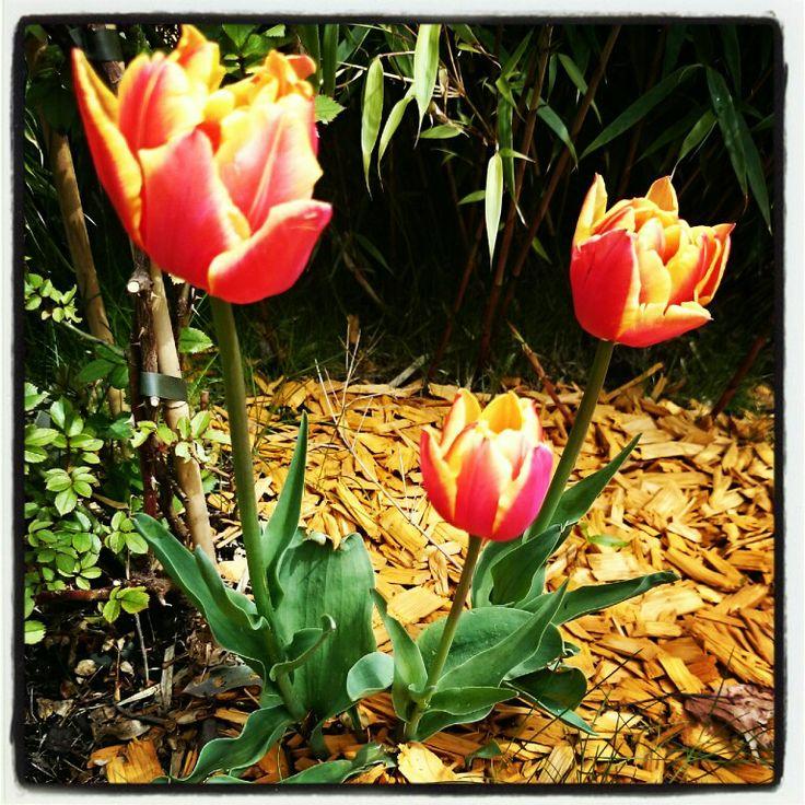 Tulpen beim Genusshotel Almrausch - genießen Sie die Blumenpracht auf der Sonnenterrasse. www.almrausch.co.at