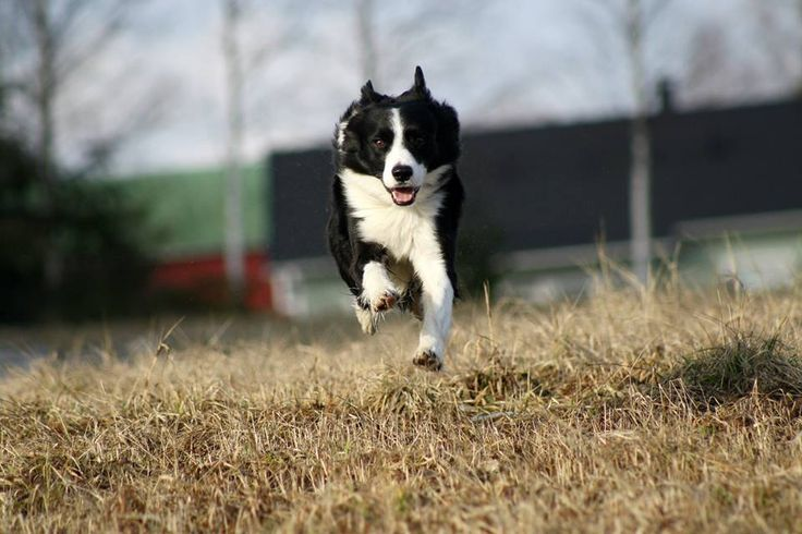 Tino is a 5-year old active border collie boy. At 2-years old Tino got a ligament injury that quickly caused arthritis in the shoulder. With Nutrolin Joint Duo Tino is living a active life without any painkillers.