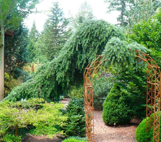 178 Best Picea Images On Pinterest Evergreen Garden