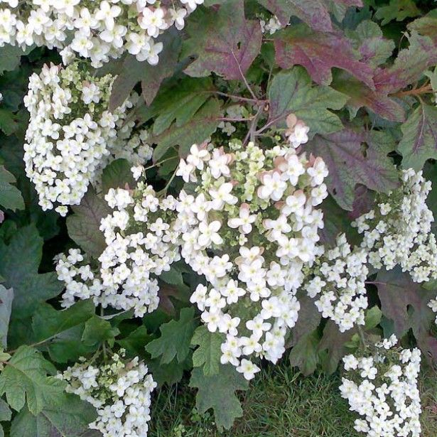Hortensia - Hydrangea quercifolia Applause
