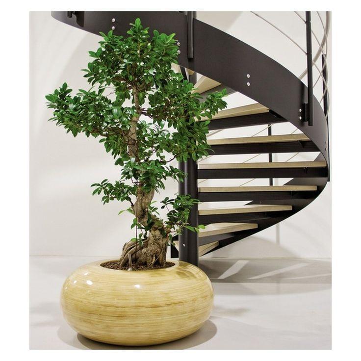 25 beautiful ficus microcarpa ideas on pinterest ficus ginseng bonsai bonsai ficus and ficus. Black Bedroom Furniture Sets. Home Design Ideas