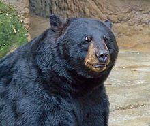 black bears - Google Search