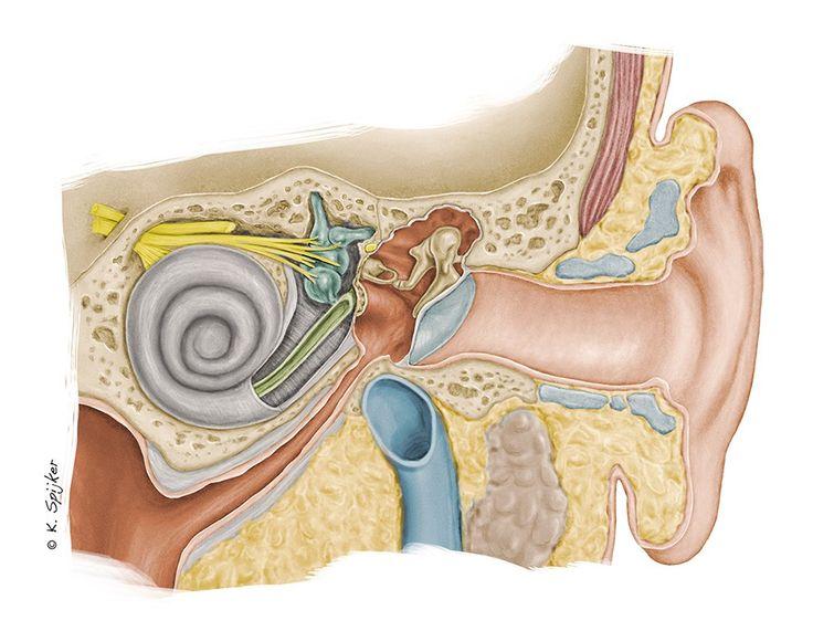 karin spijker: anatomy of the ear spain