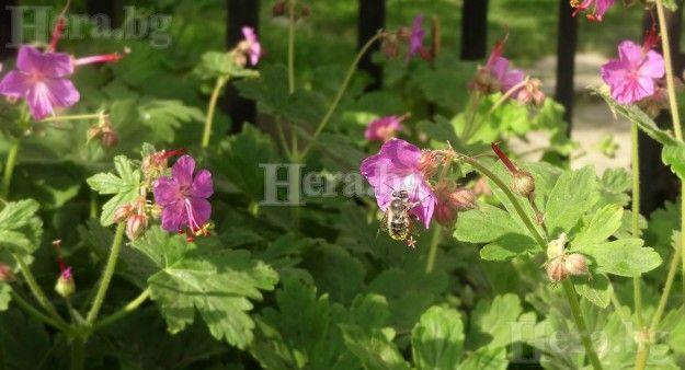 Hera.bg - Здравец - лечителската му сила започва още с името | полезни свойства на здравеца и етеричното му масло