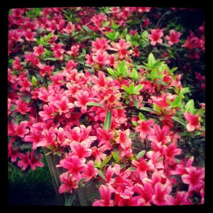 #fiori #rosa #profumo #primavera