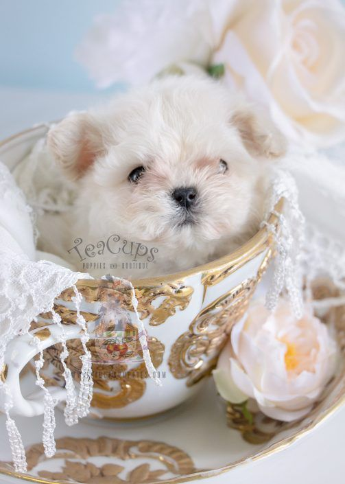 Beautiful Micro Teacup Maltese puppy by TeaCup Puppies & Boutique!  #maltese #puppy #puppies #teacupmaltese #microteacupmaltese #tinypuppy #dog #tinydog