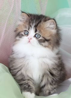 Teacup Persian kitten. I will have one someday <3 - Spoil your kitty at www.coolcattreehouse.com