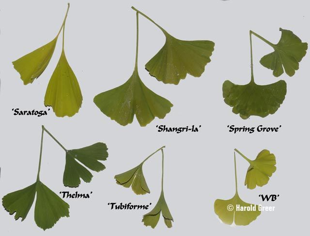 117 best Gingko Biloba images on Pinterest | Plant, Beijing and Plants