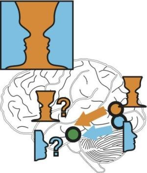 One cup or two faces? What we believe we see in one of the most famous optical illusions changes in a split second; and so does the path that the information takes in the brain. FIRST IN OCCIPTIAL LOBE THEN IN FRONTAL