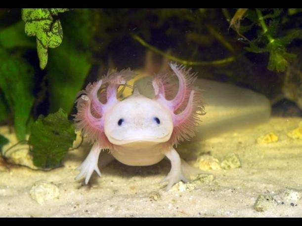 También conocido como salamandra mexicana, este alegre anfibio puede encontrarse en varios lagos de America Central.