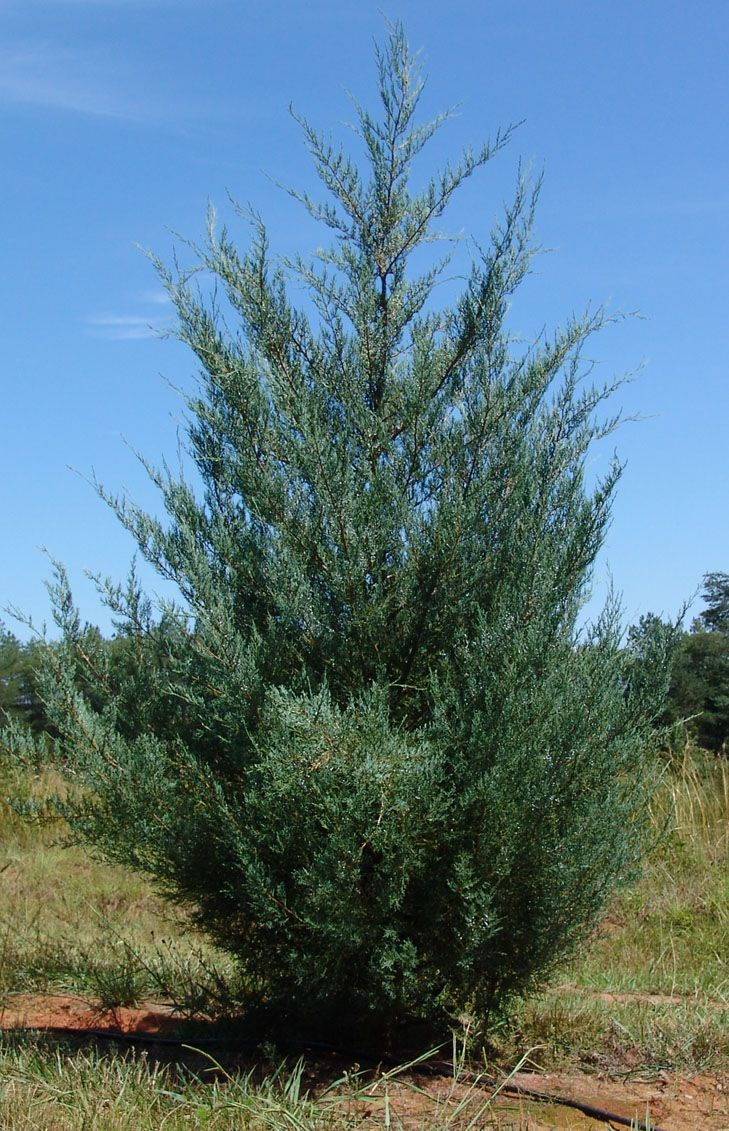 17 Best Juniperus Virginiana Images On Pinterest Red