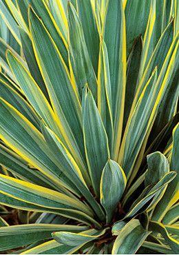 Yucca gloriosa .