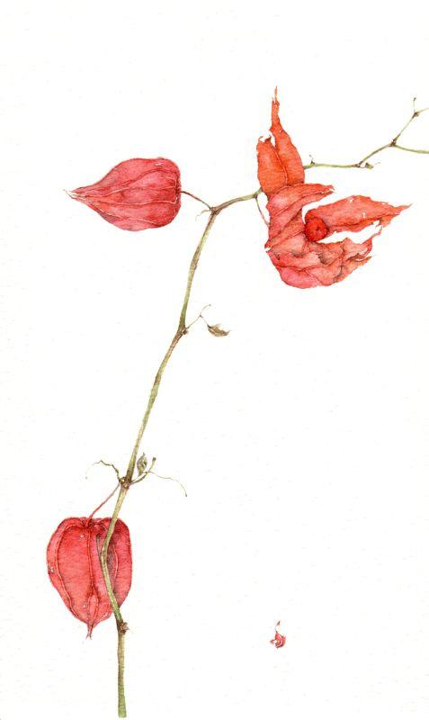 Silvia Molinari - ALCHECHENGI. acquerello su carta intelaiata, 30x30 cm, anno 2006