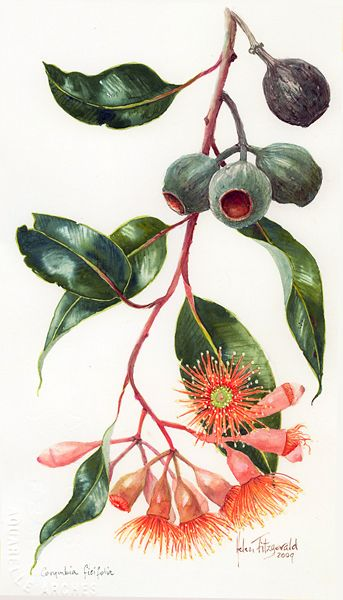 Helen Fitzgerald - Eucalyptus ficifolia, nuts & buds. anti inflammatory, antibiotic, antiseptic, asthma, bronchitis, colds, depression, diuretic, expectorant, insect repellant, mental clarity, muscles, nausea, tooth.