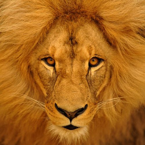 Lion: Big Cat, Jungle,  King Of Beasts,  Panthera Leo, Lion King, Lions, Amazing Animal, Lion Of Judah, Beautiful Creatures