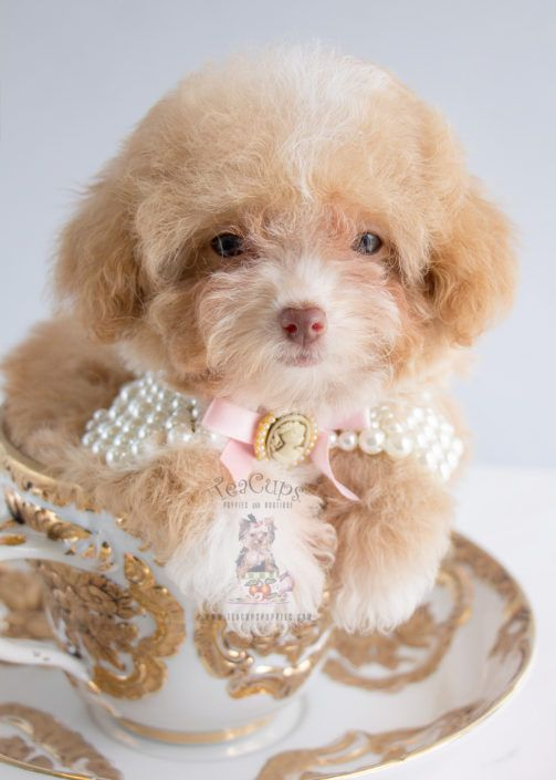 Apricot Toy Poodle Puppy by Teacup Puppies