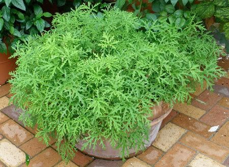 The All-Natural Mosquito Repellant  -  Here's why everyone's buzzing about Citronella:   Attractive, citrus scented geranium  Grows well on patios and decks  Nicknamed the Mosquito plant, for its natural mosquito repelling scent in the leaves.  Convenient size, plant in containers and place them...