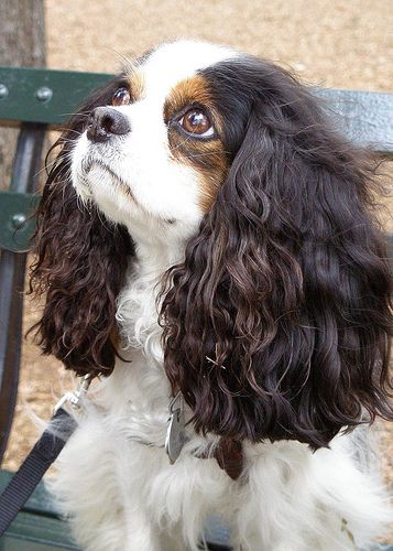 Tri-color Cavalier King Charles Spaniel. you can get lost in their beautiful