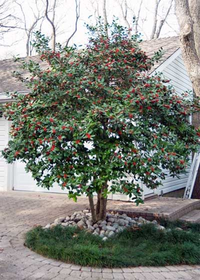 Nellie R Stevens Holly trimmed into tree form:  From the Magazine - February, 2013 - Neil Sperry's GARDENS