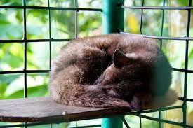 Resultado de imagen para luwak animal