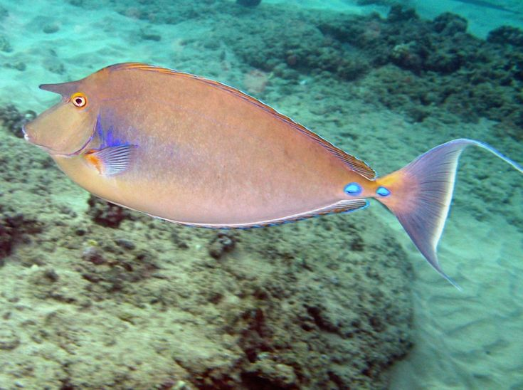42 best images about dawas naso unicornis on pinterest for Tropic fish hawaii