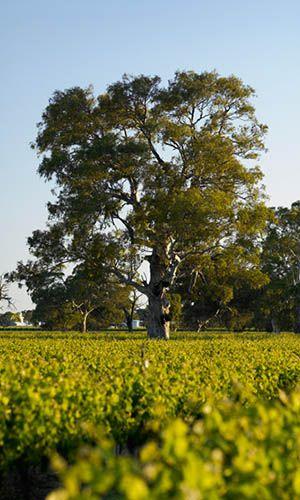 Angove Landing Family Tree