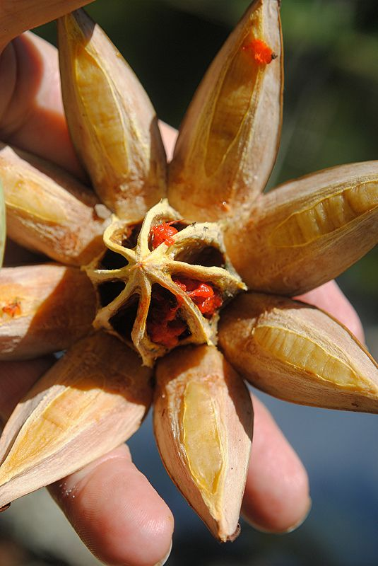 Clusia pod has opened and revealed its center and red seed coverings | por jungle mama