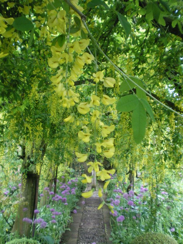 Lancaster Garden Walk: 59 Best Images About Laburnum On Pinterest