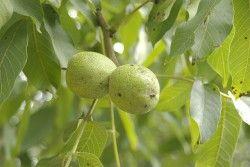 Čaj z ořechových skořápek proti kašli