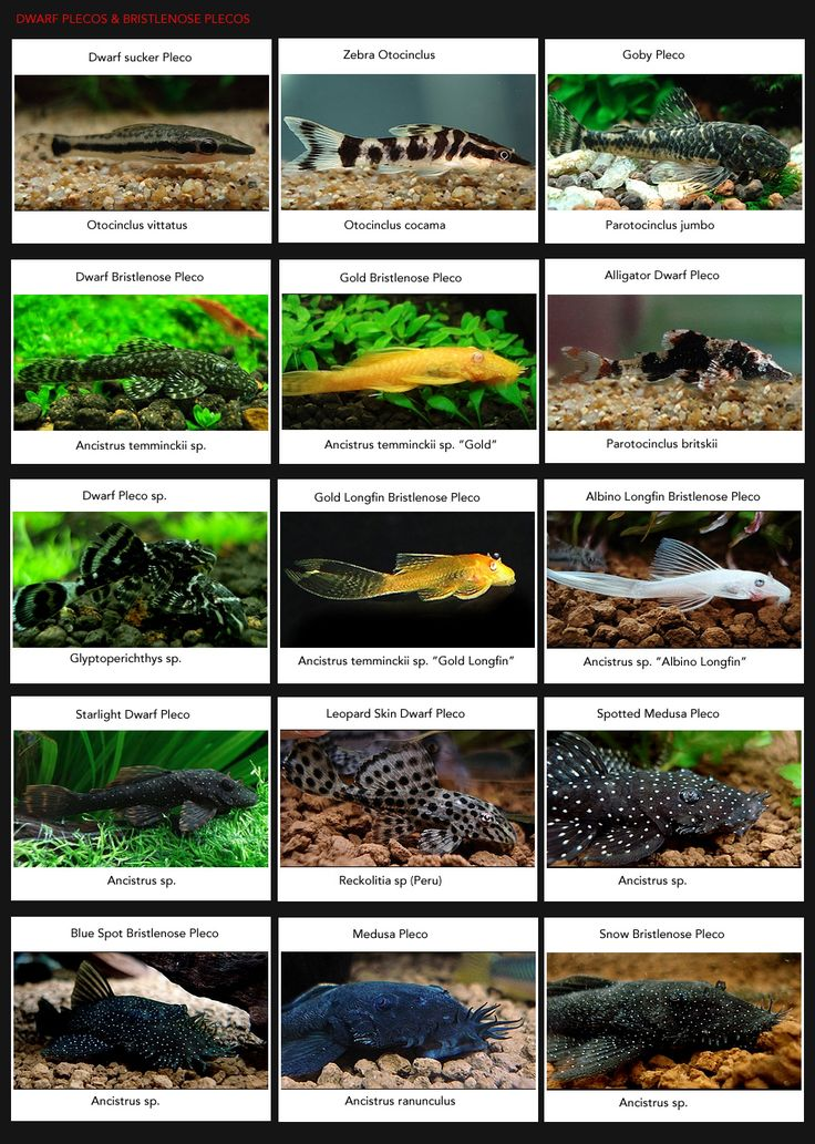 PLECOS-Dwarf-&-Bristlenose: Yep, some make great algae eaters, and they are some of the toughest fish out there, but a few species can grow to enormous sizes and become bullys.
