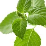Tulsi, or Holy Basil (Ocimum tenuiflorum) as a perfume ingredient