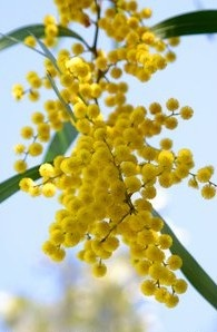 Golden Wattle. National flower of Australia and native to the country.
