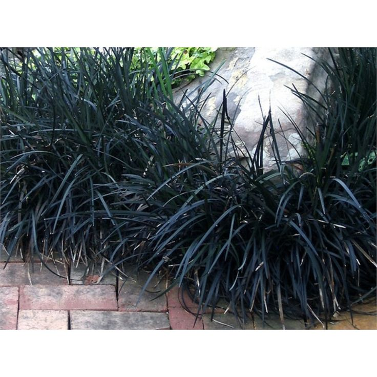100mm Ophiopogon Planiscapus Black Mondo Grass