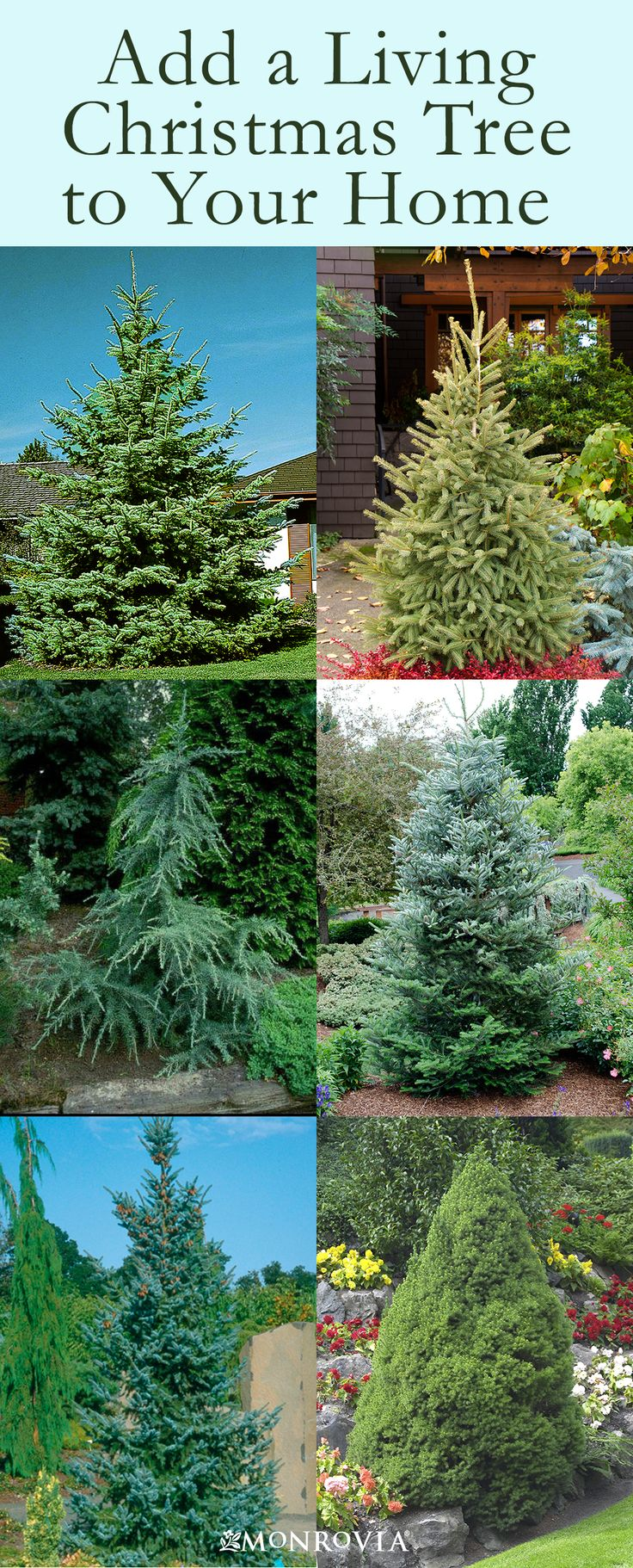 How to Buy and Care for a Living Christmas Tree - How about a living Christmas tree that you can plant in your yard after the holidays! Just follow this guide to success.
