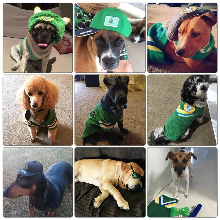 Canberra Raiders pets