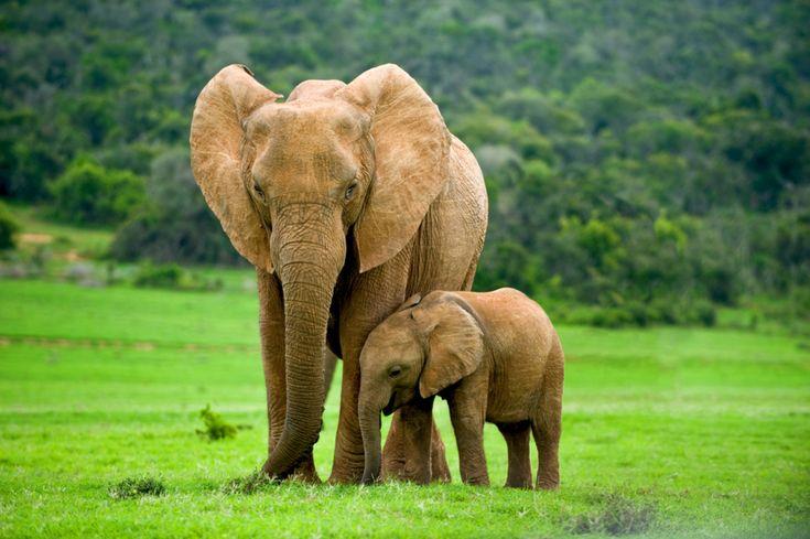 Dlaczego słonie nie chorują na raka? Naukowcy już wiedzą!