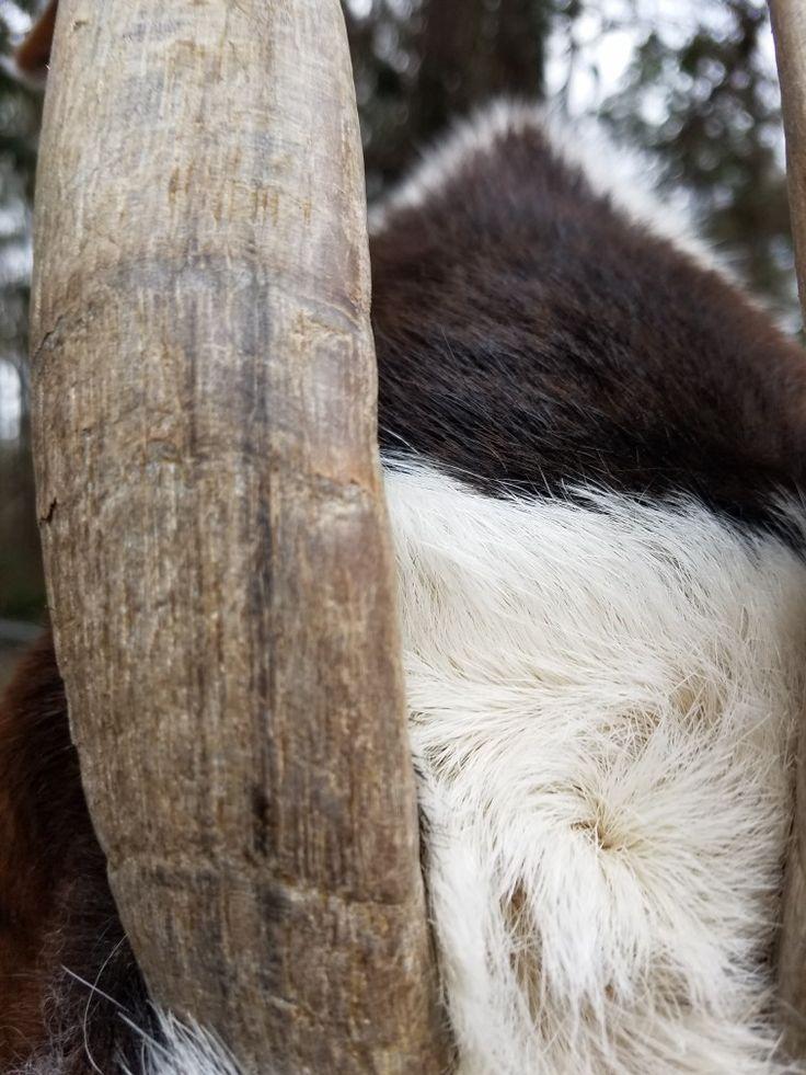 Goat horn Goat horns, Goats, Tree trunk
