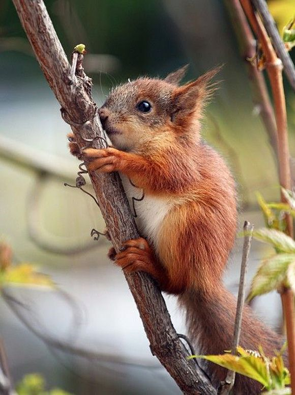A young, red squirrel climbing a small branch.