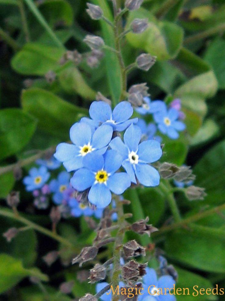 Teekräuter: Wald-Vergissmeinnicht (Myosotis sylvatica) - Samen online bei Magic Garden Seeds erhältlich.