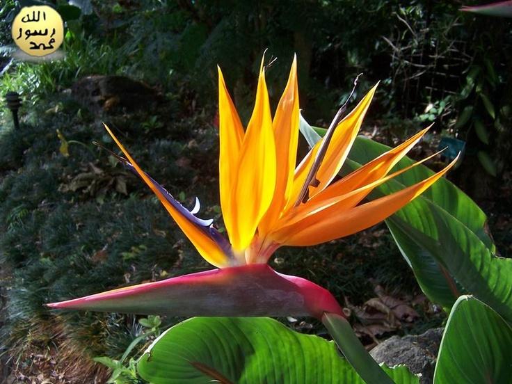 Ilık ortamları seven çiçek, kışın en düşük 10 derece sıcaklığa kadar dayanabilir.