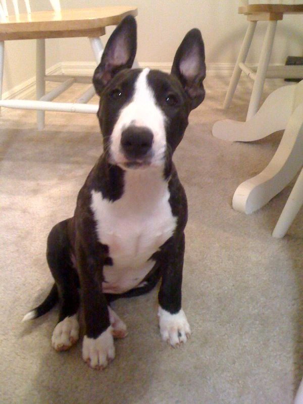 English Bull Terrier Pitbull Mix english bull terrier pitbull mix ...